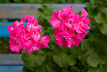 Blooming Zonal Geranium Bush With Bright Pink Flowers On A Background Of An Old Wooden Blue Bench In The Garden On A Spring Day.