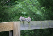 A Pair Of Mourning Doves Sitting On A Fence