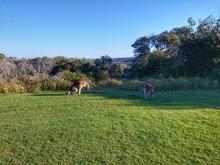 Kangaroo Relaxing On Grassland