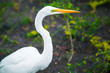 Profile portrait of the great egret