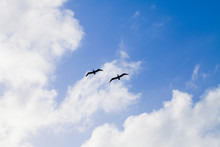 Silhouettes Of Two Pelicans Fl...
