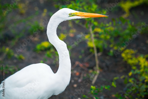 Obraz Profile portrait of the great egret - fototapety do salonu