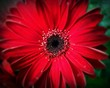 canvas print picture - Close-up Of Red Flower