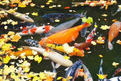Fotografija Koi Carps Swimming In Pond During Autumn