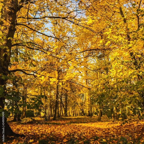 Fototapety, obrazy: Beautiful Autumn Trees In Park