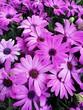 canvas print picture - pink chrysanthemum flowers