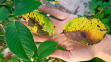 The Hand Of A Female Gardener Holds A Diseased Leaf Of A Rose.v Plant Disease. Fungal Leaves Spot Disease On Rose Bush Causes The Damage. Fungal Disease Black Spot Of Rose Caused By Diplocarpon Rosae.