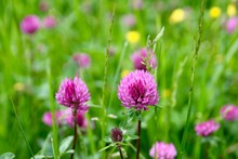 Close Up Of Clover Flowers