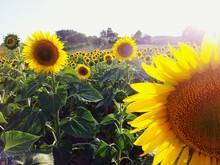 Sunflowers Growing On Field