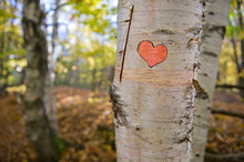 Birch Tree With A Carved Red Hearth. This Image Was Photographed During Autumn Season In Ontario, Canada. The Tree Is On The Right Side Of The Frame.