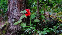Close-up Of Red Rose On Tree T...