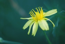 Close-up Of Yellow Salsify Flo...