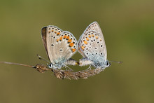 Mating Butterflies In Spring I...