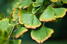 Leaves Of Ginkgo Biloba Plant