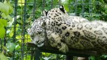 Snow Leopard Sleeping On Bench In Wilhelma Zoo