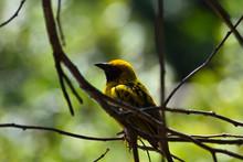 Yellow Southern Masked Weaver Bird (Ploceus Velatus), Pretoria, South Africa