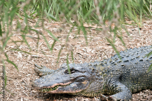 this is a side view of an alligator Canvas Print
