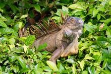 Tree Iguana In Costa Rica