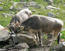 Two Bulls Searching For Food I...