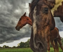 Close-up Of Brown Horses On Fi...