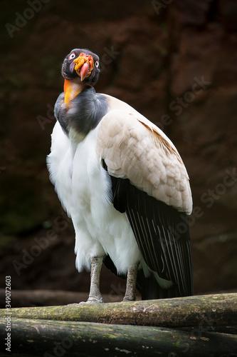 Photo Esta gran ave es un condor conocido como condor real o sarcoramphus papa, es un retrato de un ave