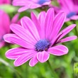 canvas print picture - Close Up Of Purple Flower