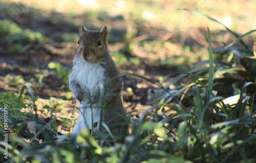 Photo squirrel, hind leggs,