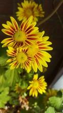 Close-up Of Yellow Gazanias Blooming At Park