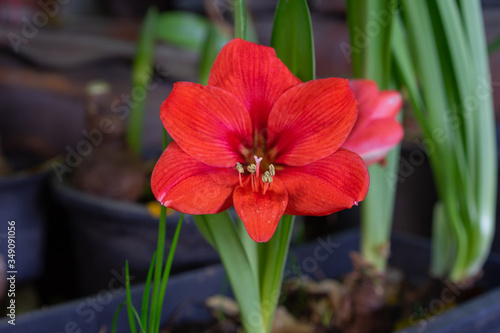 Photo Red amaryllis flower blooming, Amaryllis or Hippeastrums flowers