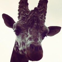 Low Angle Portrait Of Giraffe Against Clear Sky