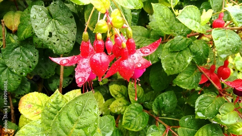 Obraz na płótnie Raindrops On Red Fuchsias Blooming At Park
