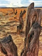 Stumps In Desert