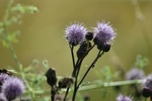 Texas Thistle Flower Blooming ...