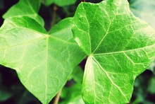 Close Up Of Ivy Leaves