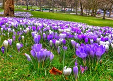 Purple And White Crocuses Blooming At Park