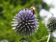 Close-up Of Honey Bee Pollinating On Globe Thistle