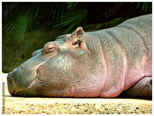 Fototapeta Close-up Of A Sleeping Hippopotamus