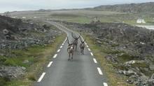 Reindeers Running Away Along T...