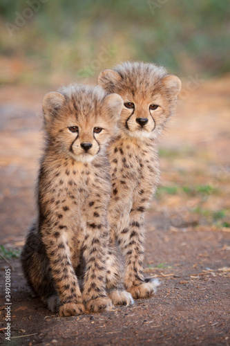 Tela Two small Cheetah cubs sitting up alert South Africa