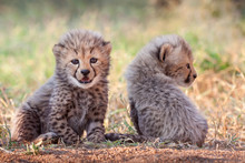 Two Four Week Old Cheetah Cubs South Africa