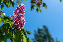Aesculus Red Chestnut Flowers, Flowering Horse Chestnut Red Flowers, Sunny Day In May. Natural Detail, Deciduous Plant Of Flower Groups.
