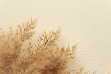 Dried Natural Pampas Grass On ...