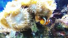 Clown Fish Swimming Near Coral In Sea