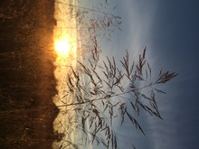Reeds Growing In Field During Sunset