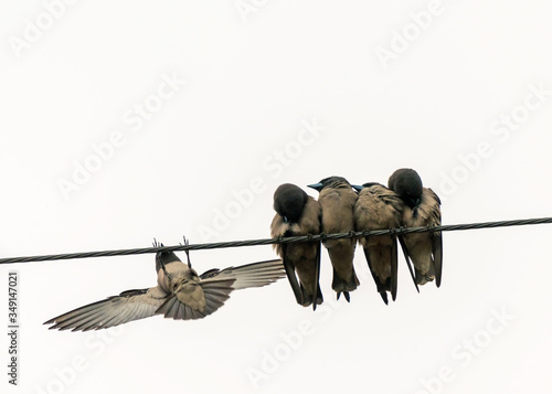Photo Ashy woodswallows practicing social distancing in Hua Hin, Thailand