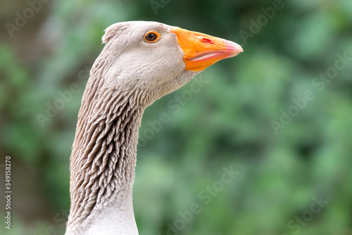 Greylag goose eating in a field on the edge of a lake, with very colorful faces Canvas Print