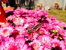 High Angle View Of Grasshopper On Pink Flowers