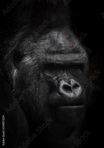 Vászonkép male gorilla portrait on a black background, brutal face.