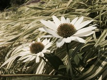 Close-up Of White Coneflowers Blooming Outdoors