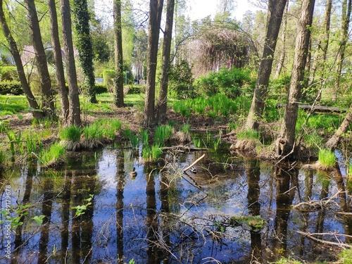 mokradła, teren podmokły, rozlewisko,  drzewa w wodzie,  woda, nikt Obraz na płótnie